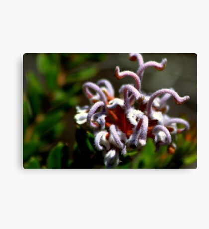 north head manly - great spider flower Canvas Print