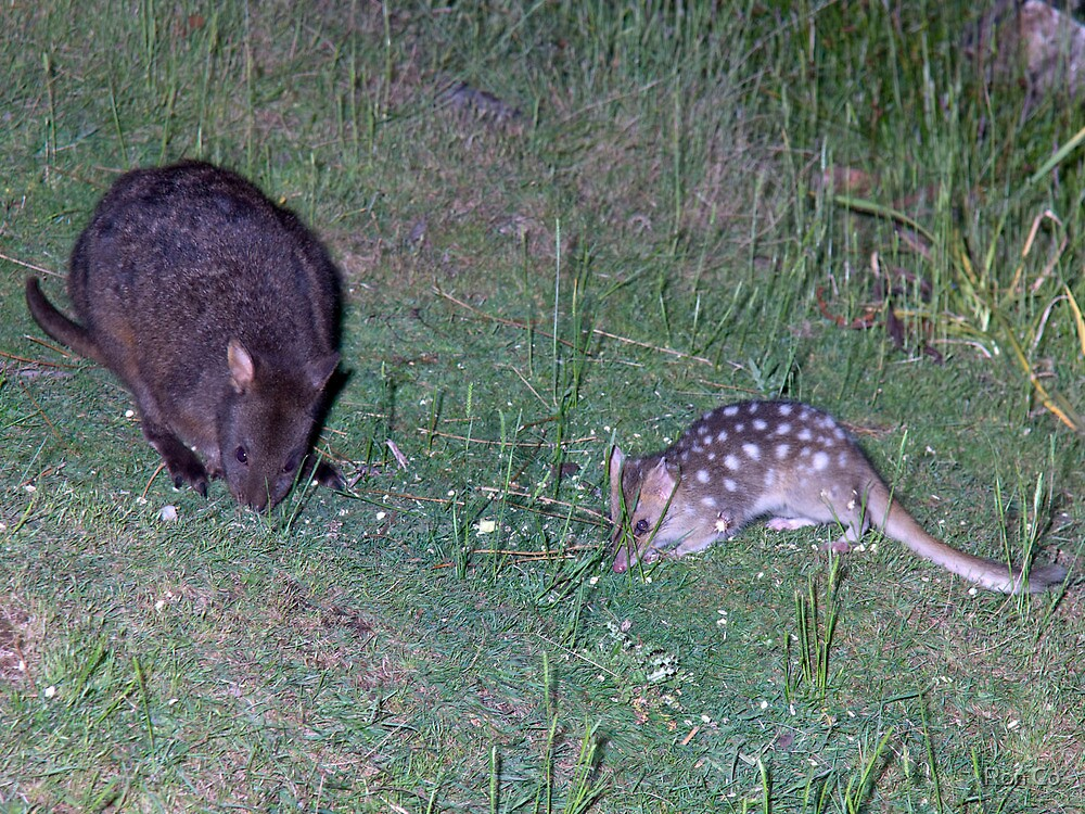 Young pademelon and Eastern Quoll dining out by Ron Co