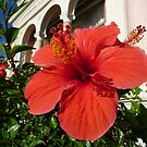 Red Hibiscus by Fara