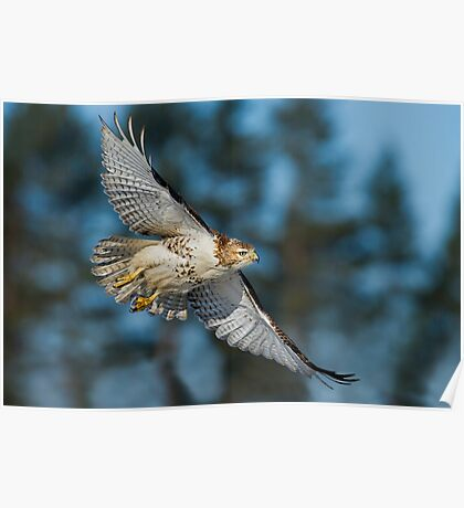 Hawk Fly By Poster