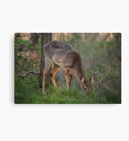 Wild Deer Eats Dinner Canvas Print