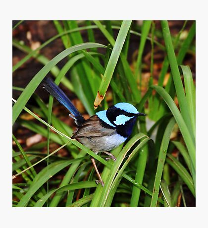 """Blue Wren"" Photographic Print"