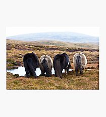 Shetland Ponies drinking (highlighted) Photographic Print