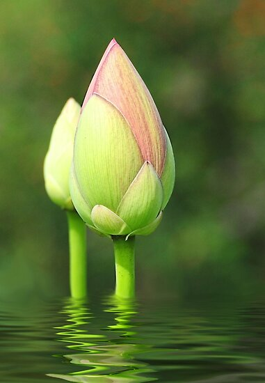 Budding Lotus Flower Posters By Kathy Baccari Redbubble