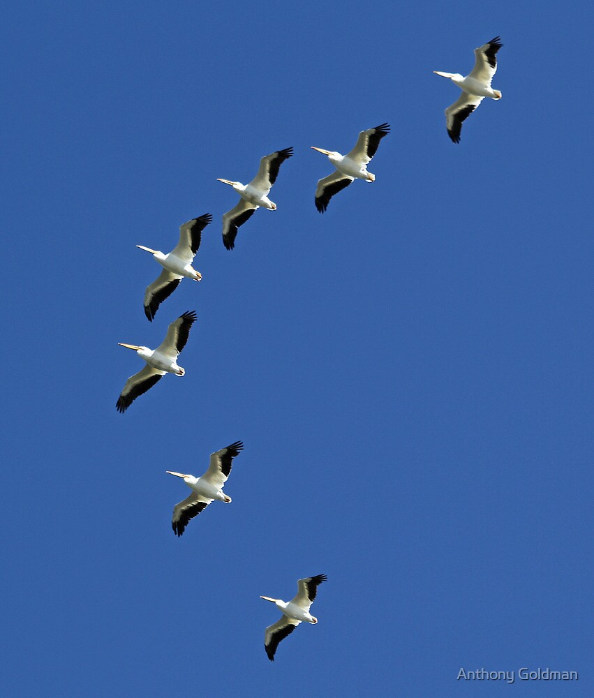 American White Pelicans in classic V fomation by Anthony Goldman