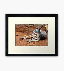 Relaxing Kangaroo Framed Print
