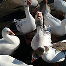 I want MORE! (Greylag Geese) by Jane Neill-Hancock