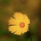 Coreopsis by waxyfrog