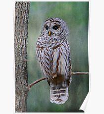 Barrred Owl Poster