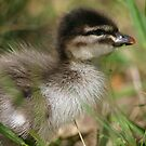 Baby Wood Duck by Erland Howden