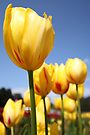 Tulip Me Yellow by Emma Holmes