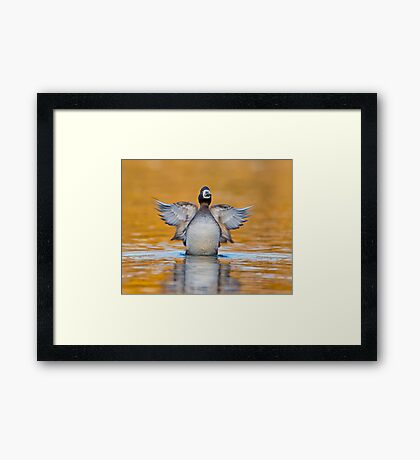Rise of the Scaup Framed Print