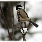 Little Snow bird by Angie O'Connor