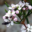 Zieria aspalathoides by Daphne Gonzalvez