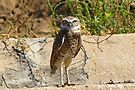 Burrowing Owl by Kimberly Chadwick