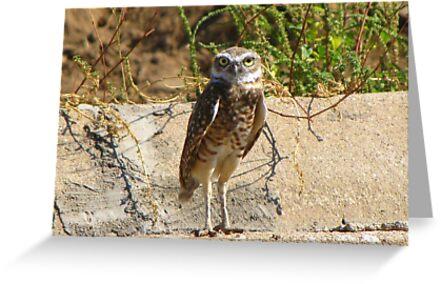 Burrowing Owl by Kimberly Chadwick