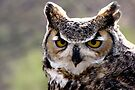 Great Horned Owl  by Kimberly Chadwick