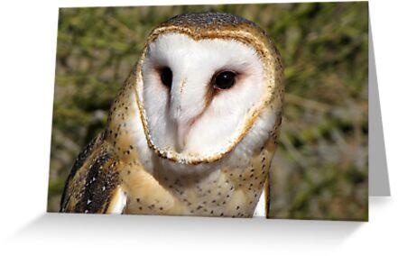 Barn Owl ~ Portrait by Kimberly Chadwick