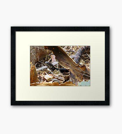 Common Kingsnake ~ (Lampropeltis getulas) Framed Print