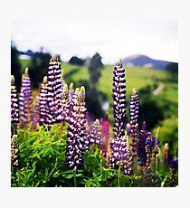 Wild Lupin Photographic Print