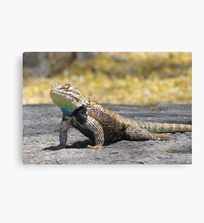 Desert Spiny Lizard ~ Male Canvas Print