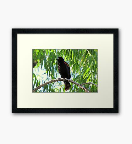 Red-winged Blackbird ~ Male Singing Framed Print