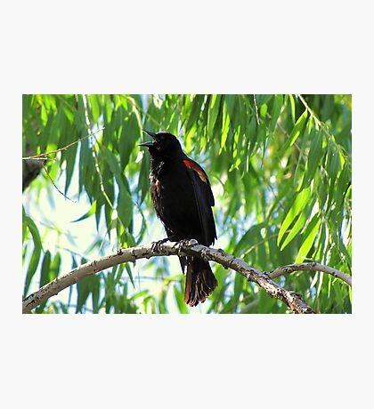 Red-winged Blackbird ~ Male Singing Photographic Print