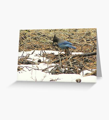 Steller's Jay ~ Deschutes National Forest ~ Bend, Oregon  Greeting Card
