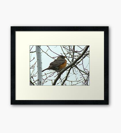 American Robin ~ Bend,Oregon Framed Print