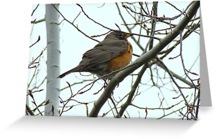 American Robin ~ Bend,Oregon by Kimberly Chadwick