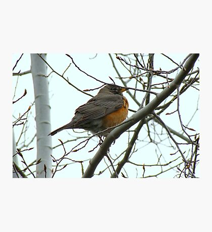 American Robin ~ Bend,Oregon Photographic Print