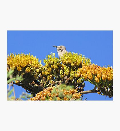 Curved-billed Thrasher Photographic Print