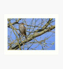 White-crowned Sparrow ~ Adult II Art Print
