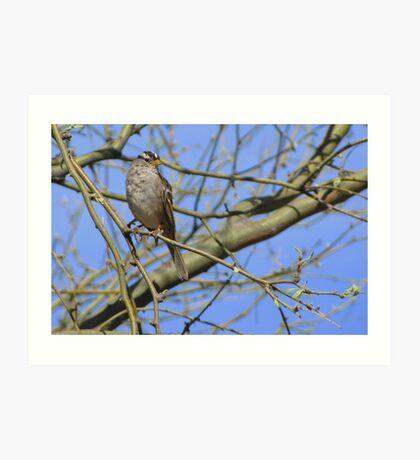 White-crowned Sparrow ~ Adult II Art Print