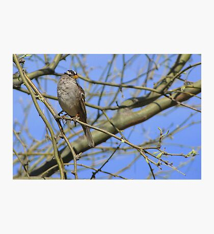 White-crowned Sparrow ~ Adult II Photographic Print