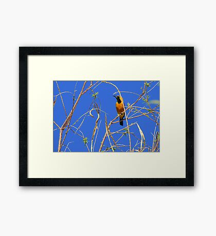 Hooded Oriole ~ Male Framed Print