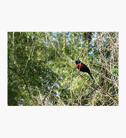 Red-winged Blackbird ~ Male Photographic Print
