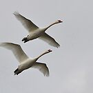 Two Swans In Flight by Kathy Baccari