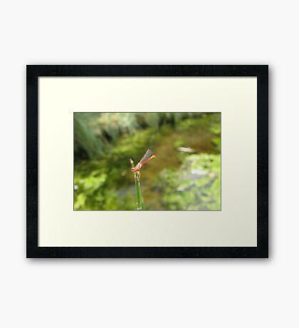 Damselfly ~ Desert Firetail (Male) Framed Print