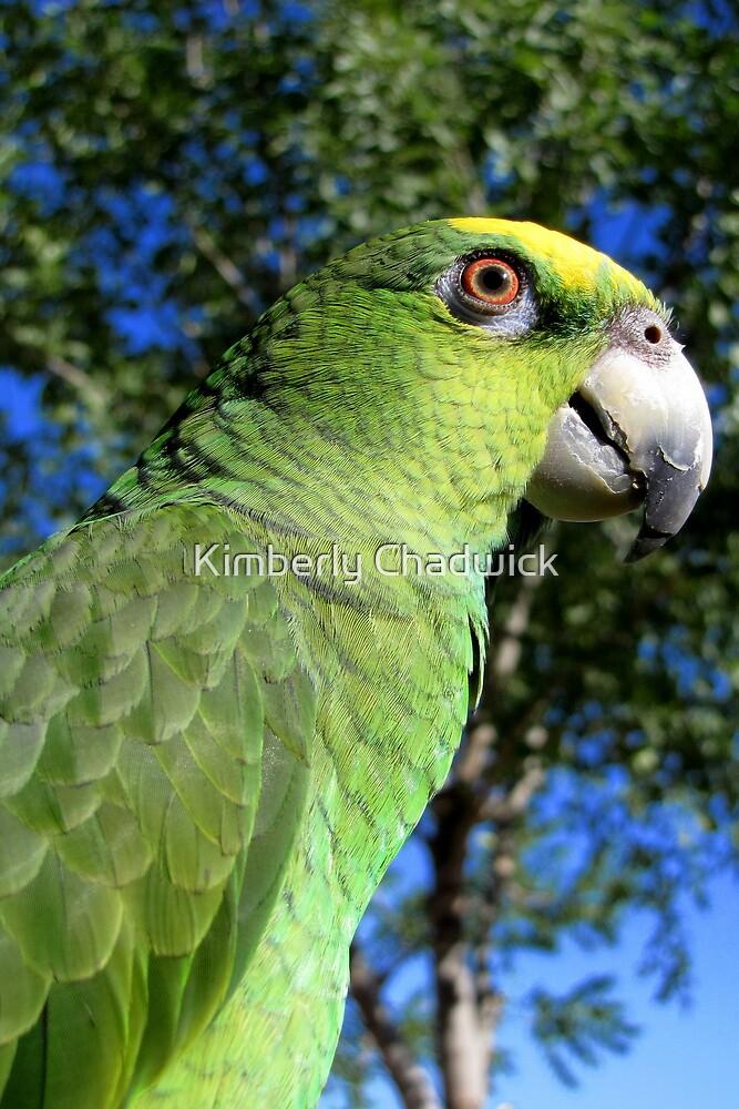 Charlie ~ Orange-winged Amazon by Kimberly Chadwick