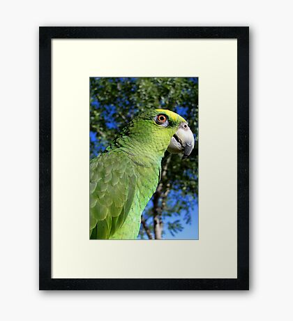 Charlie ~ Orange-winged Amazon Framed Print