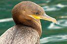 Neotropic Cormorant by Kimberly Chadwick