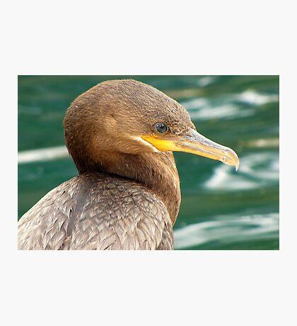 Neotropic Cormorant Photographic Print