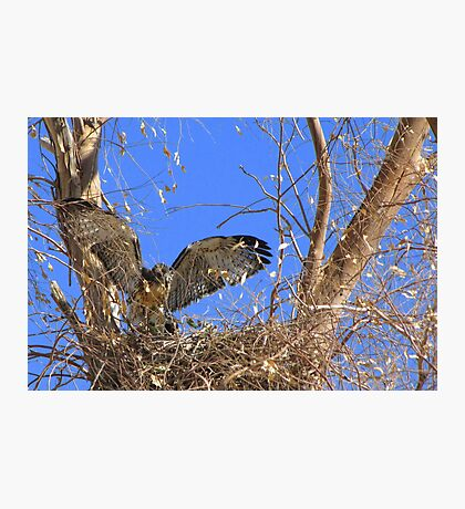 Red-tailed Hawk ~ Babies XII Photographic Print