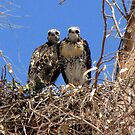 Red-tailed Hawk ~ Babies XI by Kimberly Chadwick