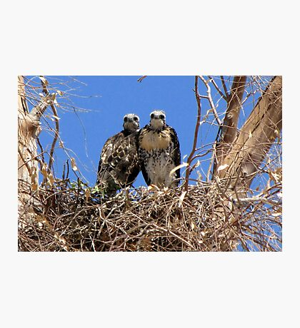 Red-tailed Hawk ~ Babies XI Photographic Print