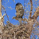 Red-tailed Hawk ~ Babies IX by Kimberly Chadwick