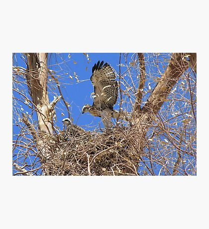 Red-tailed Hawk ~ Babies IX Photographic Print