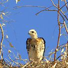 Red-tailed Hawk ~ Babies VII by Kimberly Chadwick