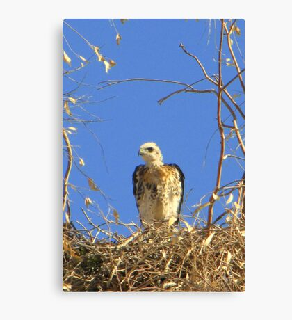 Red-tailed Hawk ~ Babies VII Canvas Print